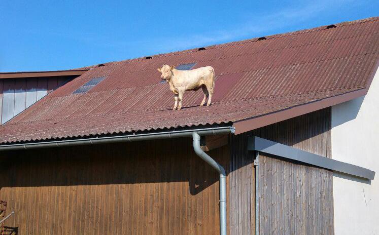 Ein Rind auf dem Dach.